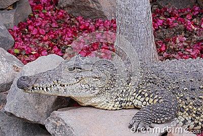 Crocodile lay