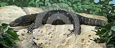 Crocodile monitor 1