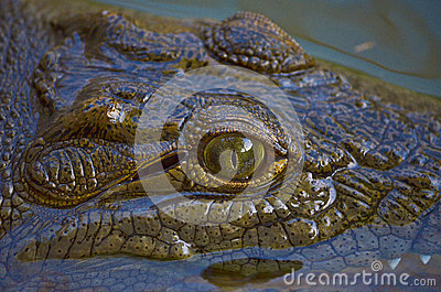 Crocodile in the Nile River