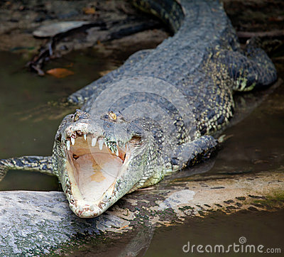 Crocodile open mouth