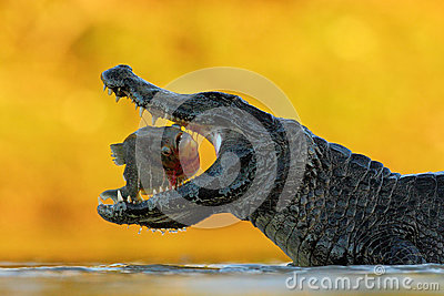 Crocodile with open muzzle. Yacare Caiman, crocodile with fish in with evening sun, Pantanal, Brazil. Wildlife scene from nature. Stock Photo