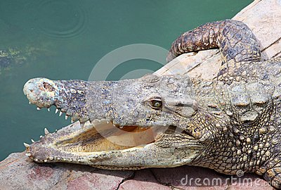 The crocodile opening the mount for release the he