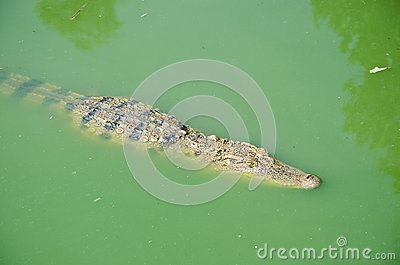 Crocodile in pond