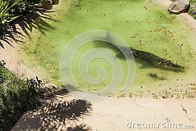 Crocodile in pool