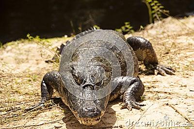 Crocodile at the river