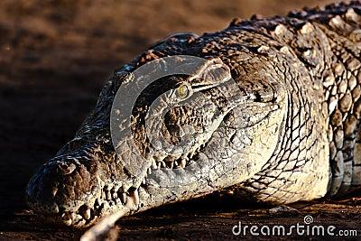 Crocodile on the riverbank