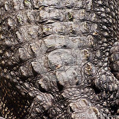 Free Crocodile Skin Texture Stock Photo - 25171080