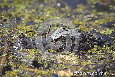 Crocodile in the swamp
