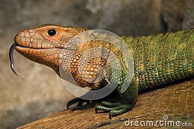 Crocodile Teju