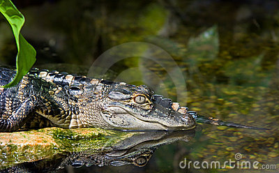 Crocodile in water