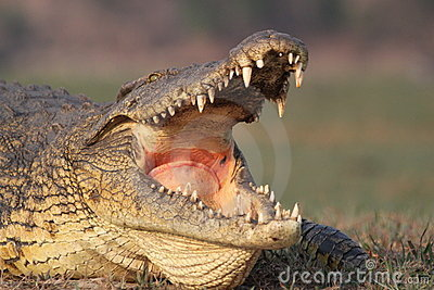 Crocodile yawning.