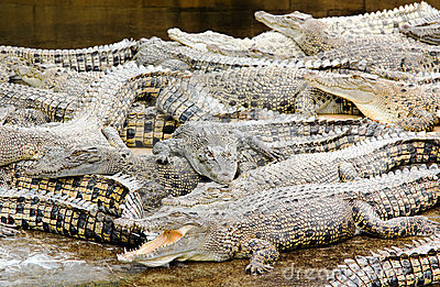 Crocodiles farmed for meat in conservation effort Editorial Photography