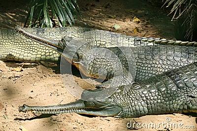 Crocodiles resting in the park