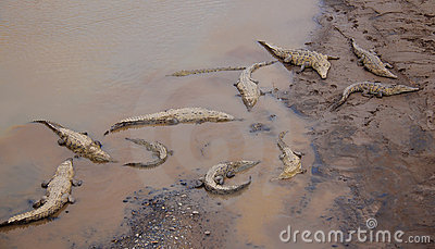 Crocodiles at the riverbank