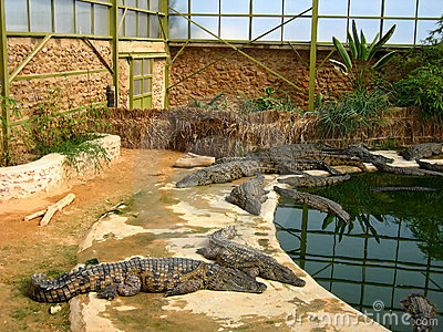 The crocodiles in winter pavilion on the farm on D