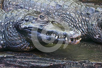 Crocodilo perigoso que procura sua rapina