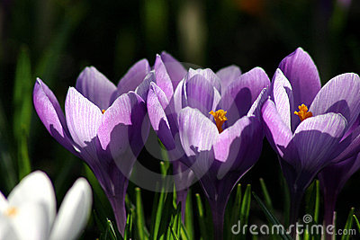 Crocus against light