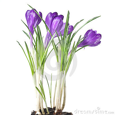 Crocus bouquet isolated