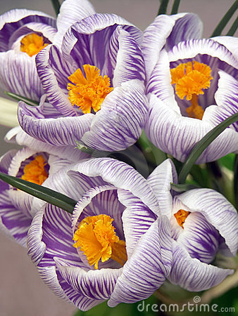 Free Crocus Closeup Royalty Free Stock Photo - 613495