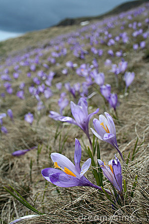 Free Crocus Field 3 Stock Images - 1478504