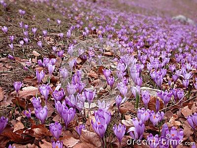 Crocus fields in spring