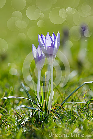Free Crocus Flower In Nature With Dew Drops Royalty Free Stock Images - 28104729