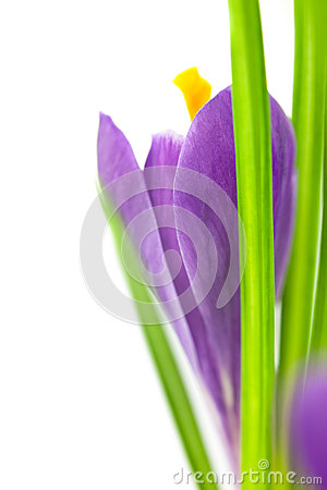 Crocus Flower / Super Macro background with  copy space