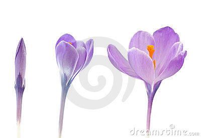 Crocus flowers blooming