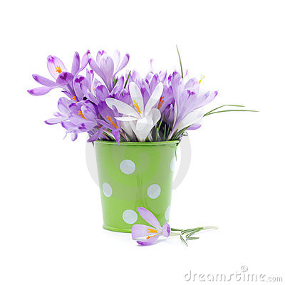 Crocus flowers in green bucket