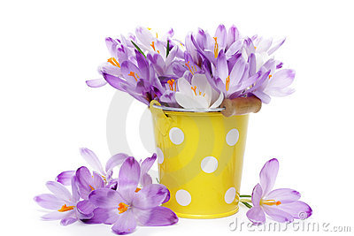 Crocus flowers in yellow bucket
