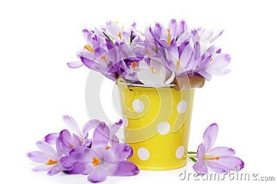 Crocus flowers in yellow bucket