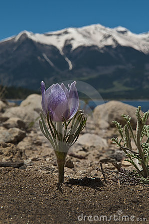Crocus in the Mountains