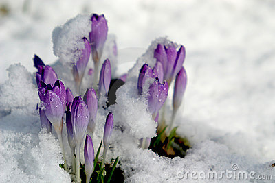 Crocus in the snow (spring)