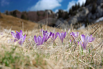 Crocus at spring