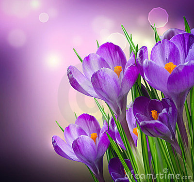 Free Crocus Spring Flowers Royalty Free Stock Image - 24125386