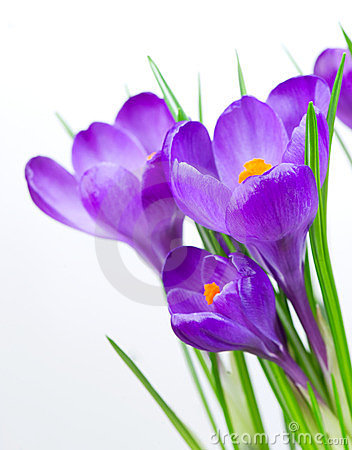 Free Crocus Spring Flowers Royalty Free Stock Photography - 24125387