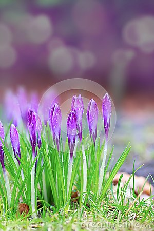 Free Crocus Under The Rain Stock Photos - 112855023