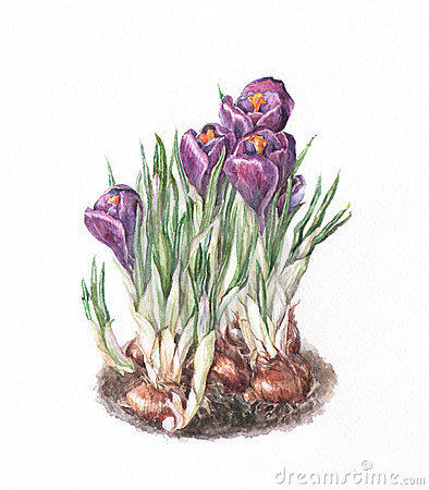 Free Crocus Watercolor Painting Stock Images - 23396344