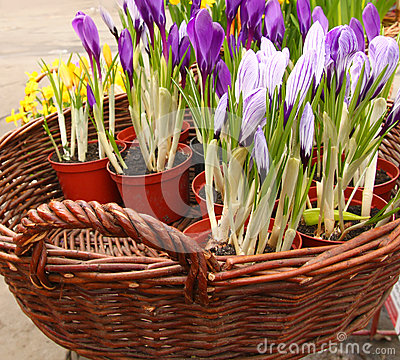 Crocuses are in a basket