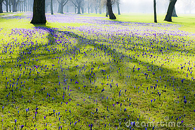 Crocuses blooming in park