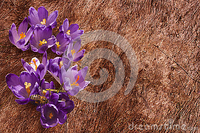 Crocuses on the withered grass
