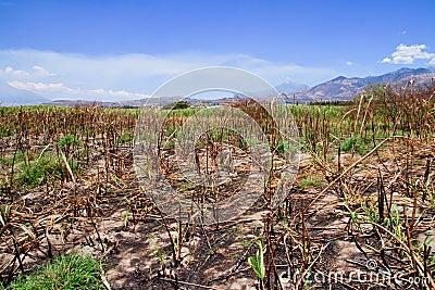 Crop burning , sugar cane fire aftermath