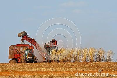 Cropping sugar cane