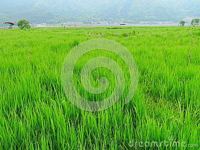 Crops in farmland