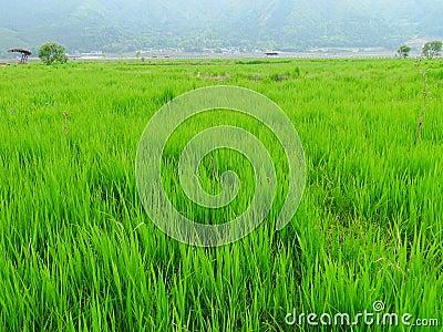 Crops in farmland