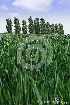 Crops in the field