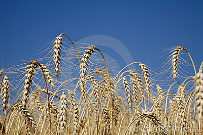 Crops for the harvest