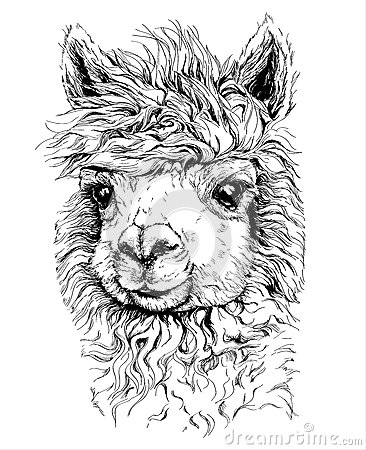 croquis r aliste de lama alpaca dessin noir et blanc d 39 isolement sur le blanc illustration de. Black Bedroom Furniture Sets. Home Design Ideas