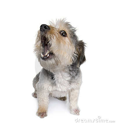 Free Cross Breed Dog In Front Of White Background Stock Images - 11291674