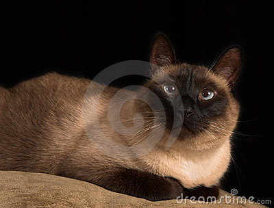 Cross eyed siamese cat